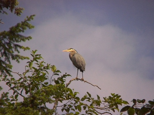 [ Great Blue Heron ]