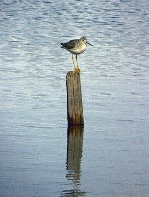 [ Greater Yellowlegs]