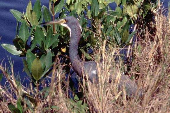 [Tricolored Heron]