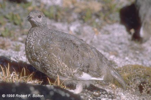 [White-tailed Ptarmigan ]