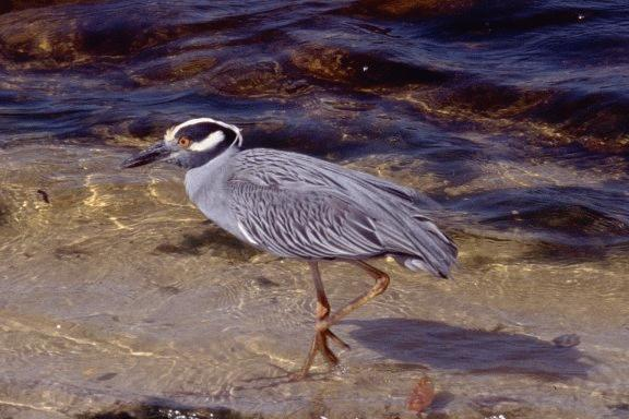 [Yellow-crowned Night-Heron ]